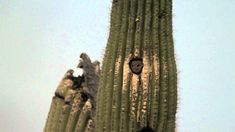 This is a nesting pair of Elf Owls that visit my property every year. Elf Owls are the smallest Owl species in the world and often nest in the Giant Saguaro . Elf Owl, Owl Species, Female Elf, Small Owl, Picture Blog, Buddy The Elf, Birds Of Prey, Cactus Plants, Cool Pictures