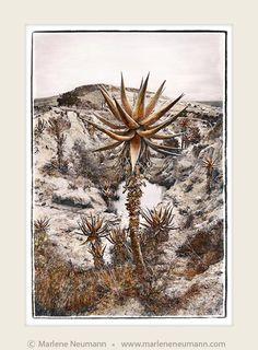 Aloe Warrior - Marlene Neumann Fine Art Photography www. Fine Art Photography, Landscape Photography, Heart And Mind, Home Office Decor, Great Photos, Vintage World Maps, Unique Gifts, Moose Art, Artsy