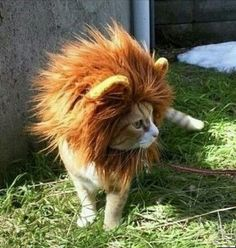 I am a lion or a cat?