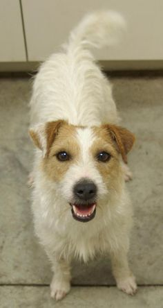 Meet Twinkie, a Petfinder adoptable Jack Russell Terrier Dog | Lampasas, TX | Twinkie is a 4 year old female Jack Russell Terrier who is all about the play time.  She loves...