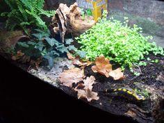 Salamandra Vivarium-en-vadrouille.jpg