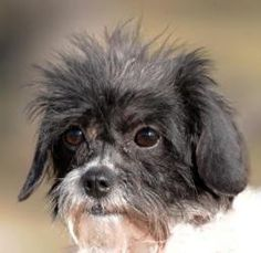 Mimi. ADOPTED on 8/11/12!!!! Adult Female. Brussels Griffon mix. Click photo for adoption information. Hands, Hearts, and Paws - Omaha, Nebraska. Rescue pets are the best!