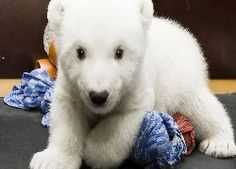 Mały, Niedźwiedź, Polarny, Słodkie Zwierzęta