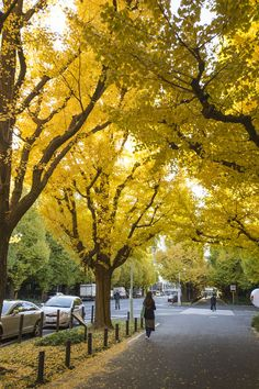 Autumn Leaves of Gingko, Tokyo, Japan 明治神宮外苑