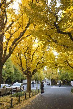 Autumn Leaves of Gingko, Tokyo, Japan 明治神宮外苑
