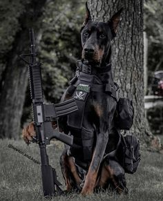 ・・・ Taking tactical to a whole 'nother level😎 We just got our new Colt RIS Airsoft rifle from… Military Working Dogs, Military Dogs, Police Dogs, Scary Dogs, Funny Dogs, Cute Dogs, European Doberman, Doberman Pinscher Dog, Doberman Love
