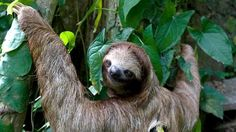 A sloth with a tracking device on its back