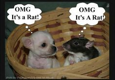 I also have 2 free range rats....my chihuahuas as well as my 5 caged ratties !