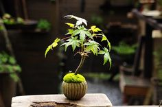 Maple tea cup pot. The plant properly because it opened the bottom hole I will be planted.