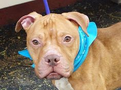 TO BE DESTROYED - 08/05/13 Manhattan Center -P My name is ALONZO. My Animal ID # is A0973229. I am a male tan and white pit bull mix. The shelter thinks I am about 7 YEARS old. https://www.facebook.com/photo.php?fbid=648832281796321=a.611290788883804.1073741851.152876678058553=3