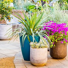 Cluster sun-loving soft-leaf yucca, bushy magenta bougainvillea, and mounding powdery blue Graptopetalum (ghost plant) to give a patio a feeling of lushness.