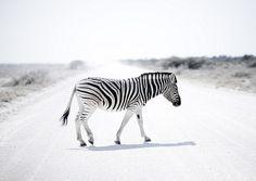 Zebra in Etosha Park - Namibia by Eric Lafforgue, via Flickr