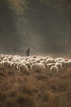 And the Sheep only hear the voice of their Shepherd. Sheep Farm, Sheep And Lamb, Lord Is My Shepherd, The Good Shepherd, Farm Animals, Animals And Pets, Cute Animals, Counting Sheep, Tier Fotos