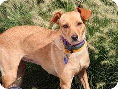 St. Louis, MO - Labrador Retriever Mix. Meet SUZIE, a dog for adoption. http://www.adoptapet.com/pet/11503601-st-louis-missouri-labrador-retriever-mix