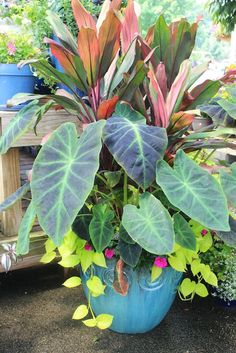 Patio planters, colocasia and ti or phormium with pink petunia and a lime vine, sweet potato vine?
