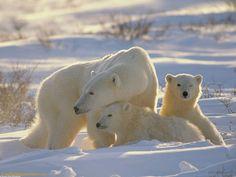 polar bears   Download White Polar Bears Wallpaper From Bear Wallpapers