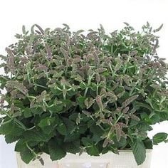 British garden mint - fantastic scent for bouquets For further information and to discuss wedding flowers pleas call 01273 951745 or email chirpeeflowers@gmail.com #wedding #sussex #foliage #bouquets #mint