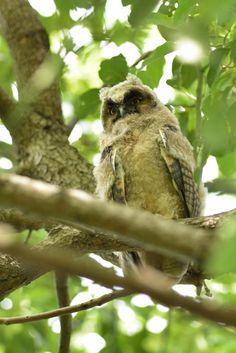 Baby ! , Long-eared owl by Mubi.A