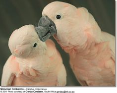 Moluccan Cockatoo (aka Salmon-crested Cockatoo)