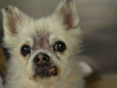 SAFE 5-4-2015 by Ready for Rescue --- SUPER URGENT BUBBLES – A1034609  FEMALE, WHITE / BLACK, CHIHUAHUA LH MIX, 14 yrs STRAY – STRAY WAIT, HOLD FOR ID Reason OWNER SICK Intake condition GERIATRIC Intake Date 04/28/2015