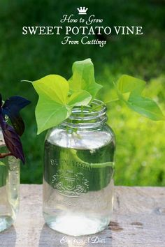Tips For Composting How to grow sweet potato vine from cuttings. This is a great way to get new plants (FREE) plus see the tips for overwintering them so you have more for next year.
