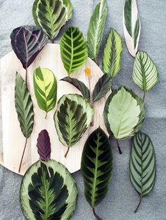 Just some leaf pictures Le Calathea, A chaque mois sa plante, septembre 2014 - maplantemonbonheur.fr