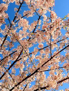 BC Sakura! BC、カナダの桜 <---- idk what this means but i want this tree in my yard