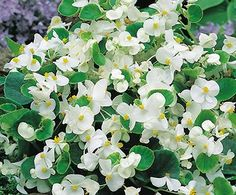 Green-Leaf Wax Begonia | White flower. Nice with Green/white caladium and Ivy (possibly lamium)