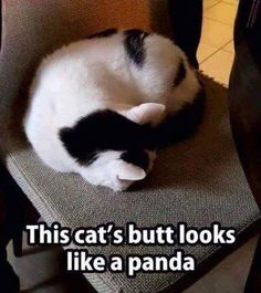 Or this panda's butt looks like a cat!!!