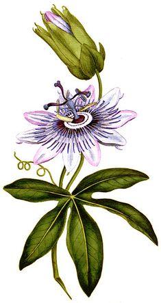 Passion Fruit Plant, Passion Fruit Flower, Plant Painting, Fruit Painting, Plant Illustration, Botanical Illustration, Botanical Flowers, Botanical Prints, Rock Flowers