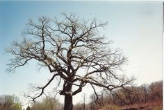 The Great Burr Oak gone but not forgotten.