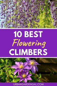 10 Flowering Climbers - Climbing plants look great growing on trellises, arches and fences, especially when they're blooming. Here are 10 of the best flowering climbers for your garden. Jade Plants, Bamboo Plants, Bonsai Plants, Cool Plants, Cactus Plants, Peperomia Plant, Pothos Plant, Robert Plant, Planting Succulents