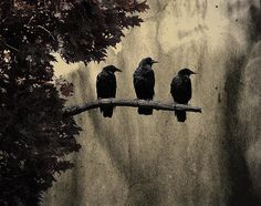 Three-Ravens-Gothic-And-Crows-Art-Photography