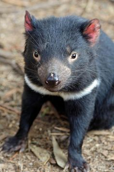 """Tassie devil - """" NO PERSEVERANCE MEANS CHEAP PUBLICITY """" . """" THE ELEMENT OF SURPRISE IS A DETOUR OF THOUGHT """" . - """" THE STOIC STARE WINS MANY UNSEEN WARS """" . """" SAINTED TRANSCENDED THROUGH DEATH IS THE EQUALIZER OF SIN """" ."""