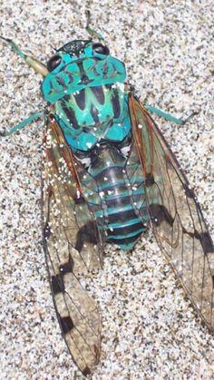 Beautiful blue cicada