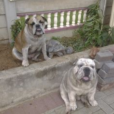 On guard Doggies Rescue Puppies, Cute Puppies, Cute Dogs, Animals Beautiful, Cute Animals, English Bulldog Funny, Boxer Bulldog, Real Dog, Dog Lady