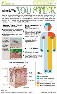 Bugs Love the Way You Sweat (Infographic) Why you Stink :-) Absolutely perfect for a MS/HS science classroom. Helpful for learning about themselves, and in an anatomy and physiology classroom. Health Class, Health Lessons, Science Lessons, Life Science, Science Ideas, Health Tips, Science Labs, Biology Lessons, Ap Biology