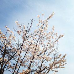 "@Graham Budd's photo: ""Cherry blossoms and blue skies in Sokcho. #korea #epik #expat #esl #속조 #한국 #twitter"""