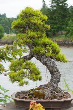 So admire bonsai gardeners. This is a pine tree!