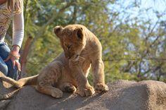 Interactive Cub Safari: Lion Park, Johannesburg, SA