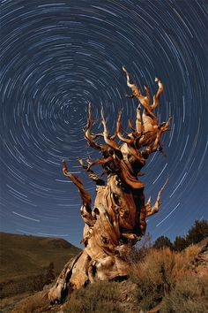 """""""I bring you an hour long star trail exposure with a 4700 year old Bristone Cone Pine tree in California's Eastern Sierra Range as the subject. This was taken about at night under a half moon. Popular Photography, Fine Art Photography, Exposure Photography, Inspiring Photography, Night Photography, Photography Tutorials, Wildlife Photography, Photography Ideas, Cosmos"""