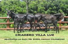 Burras de Cria  -  Female Donkeys.     Cortesía: CRIADERO VILLA LUZ, Girardota, Antioquia (Colombia).