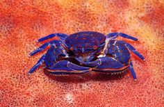 Blue porcelain crab | by photocopied1