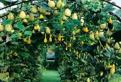 Gourds squash climbing over metal arch tunnel above grass path