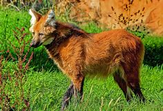 The maned wolf, an animal native to South America