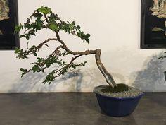 Mi primer Bonsai trabajado en 1997 con el maestro Hernán Colonia (Q. E. P. D) hoy rediseño con el maestro y amigo Germán Arellano. Cambio extremo ha pasado por muchos estilos, este es el mejor