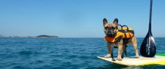 Dog having a SUP experience  - stand up paddle