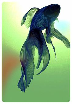 Beta fish- not necessarily fuzzy but this is really pretty. I would love to have a print of this