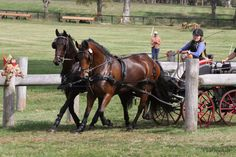 Things Horses Do...sometimes they compete in Kentucky Classic Combined Driving