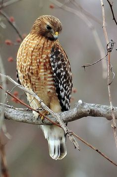 Beautiful red-shouldered hawk <> (woodland creatures, birds, fowl, woods)